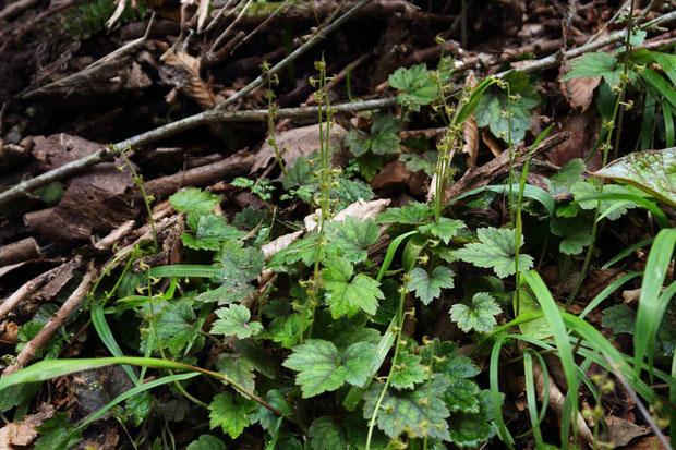 コチャルメルソウはたくさん咲きだしていた。 沢沿いの湿った場所に生えます。