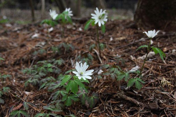 アズマイチゲ (東一華) キンポウゲ科 イチリンソウ属  林の中の日当たりがよい場所に咲いていた