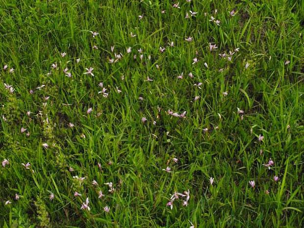 トキソウ (朱鷺草) ラン科 トキソウ属 湿原中に咲き誇っていた。 2012.05.21 千葉県