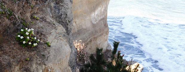 ハマギク 垂直な断崖のわずかな段差に根付くものも多い