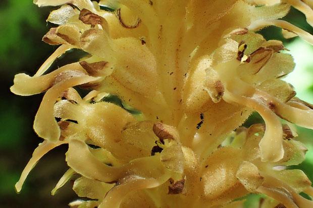 サカネラン花茎上部の花。花茎、花柄、子房に微腺毛が密生していた。無毛のエゾサカネランにはない特徴。