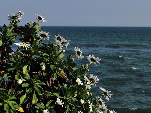 ハマギク (浜菊) キク科 ハマギク属  2010.11.06 茨城県