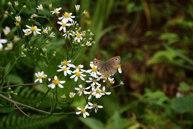シラヤマギクに地味なチョウが訪れていた