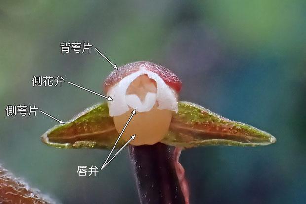 #7 カゲロウランの花 正面(背萼片、側萼片、側花弁、唇弁)