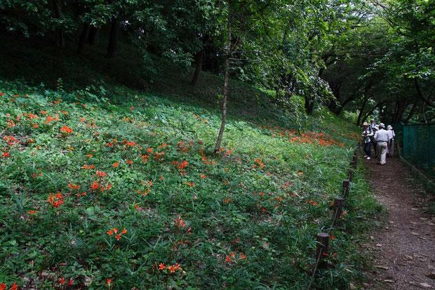 墓地の脇を流れる黒目川沿いの斜面が自生地です  2015.08.22 埼玉県新座市