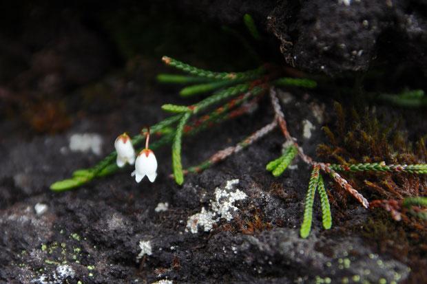 イワヒゲ (岩髭) ツツジ科 イワヒゲ属  花はお初です。ヒモのような茎に鱗片状の葉が密着します