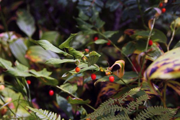 オオバタケシマランは赤い果実になっていた。 大葉竹縞蘭 ユリ科タケシマラン属