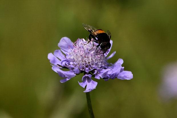 マツムシソウの花はやや大きく、上向きで着地しやすいためか、多くの昆虫が集まる