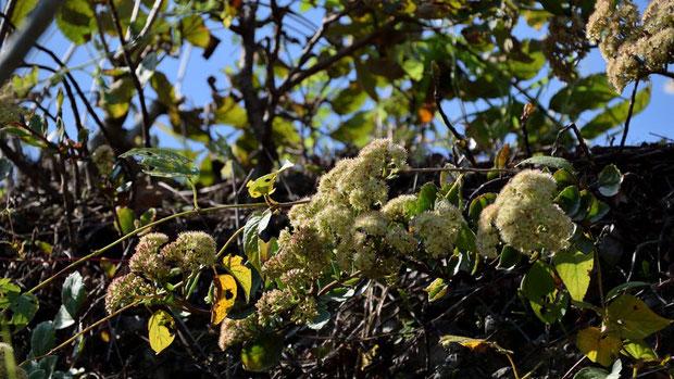 オオチチッパベンケイは、環境省が絶滅危惧1B類に指定している希少植物で、なかなか出逢えません