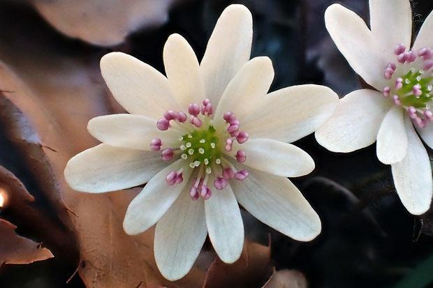 ミスミソウの花の各部を数えてみた。 この花は萼片は2段、それぞれ6個で計12個、雌しべ14個、雄しべ23個 でした。