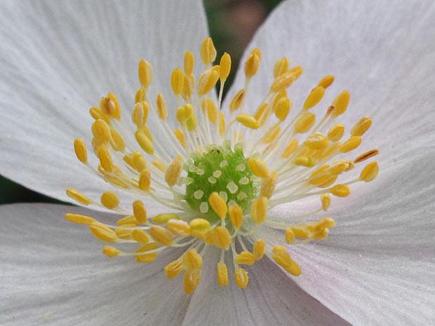 #9 ニリンソウの花 この花は雄しべ約105個、雌しべ推定52個でした