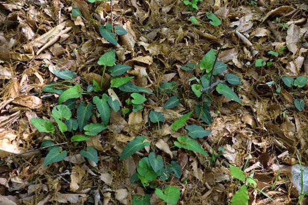 ナガバノスミレサイシンと思われる葉。 こんな低地にもいたのか