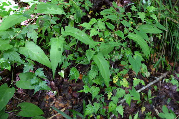 オオカモメヅル (大鴎蔓) キョウチクトウ科 オオカモメヅル属  葉は長さ7〜12cmの三角状広披針形