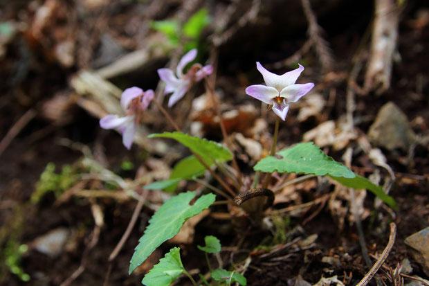 ヒナスミレ (雛菫) スミレ科 スミレ属 ミヤマスミレ類  葉は披針形で、先端は尖ります