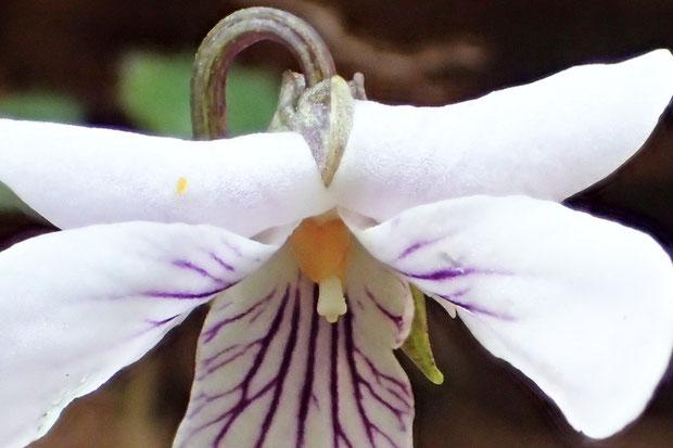 トウカイスミレ  側弁の毛は、普通はない。 柱頭の先端は、顕著にはふくらまない