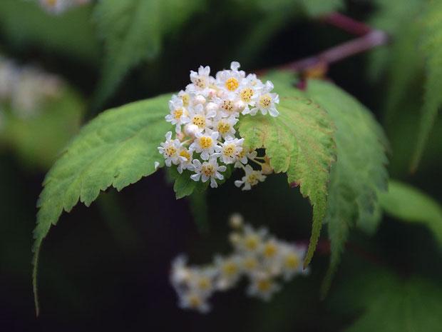コゴメウツギの花  花弁と萼片は白色で互生、花弁は萼片より長い。 雄しべは10個で花弁より短い