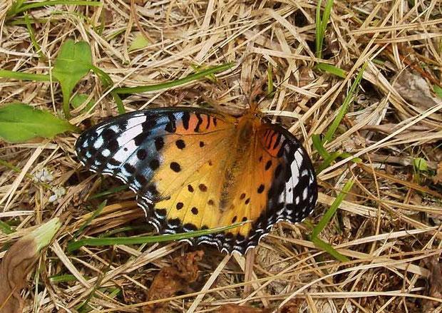 ツマグロヒョウモン(雌) 2008.07.06 群馬県吾妻郡 野反湖