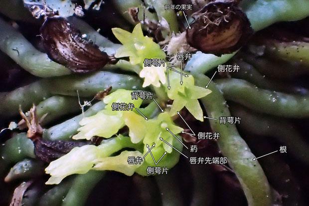 #7 クモランの花の各部の名称