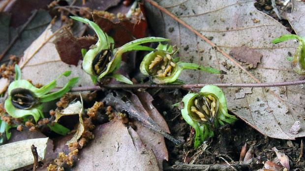 #24 クチナシグサの蒴果と種子の様子
