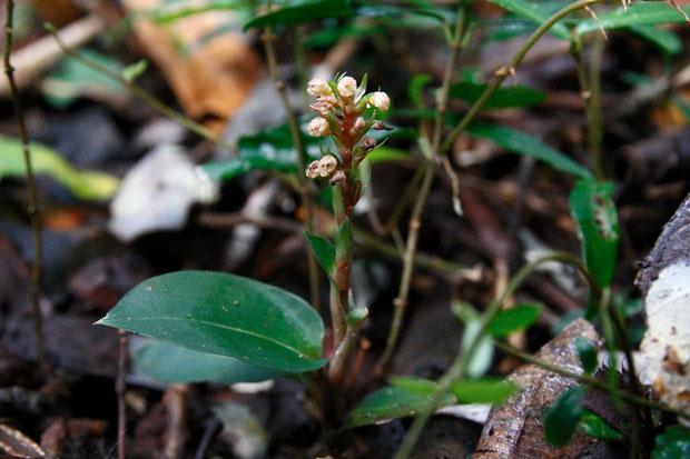 オオシマシュスラン (大島繻子蘭) ラン科 シュスラン属  葉に模様が入りません。 花は終盤