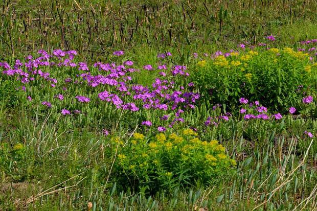 サクラソウ (桜草) サクラソウ科 サクラソウ属  数はノウルシの足元にも及ばない