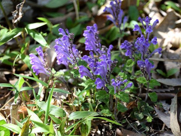 コバノタツナミ (小葉の立浪) シソ科 タツナミソウ属  1箇所だけ咲きそろっているた