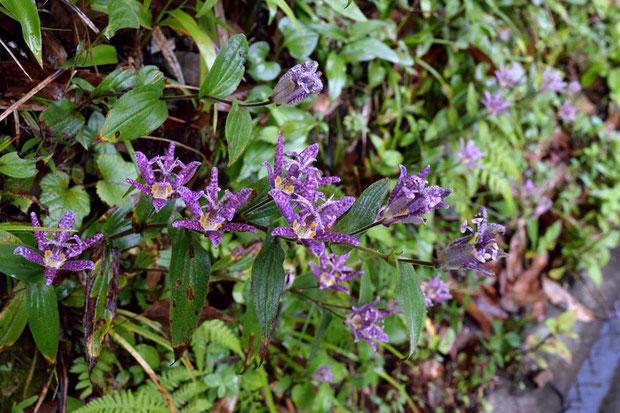 ホトトギス (杜鵑草) ユリ科 ホトトギス属  道路脇の斜面にたくさん咲いていました