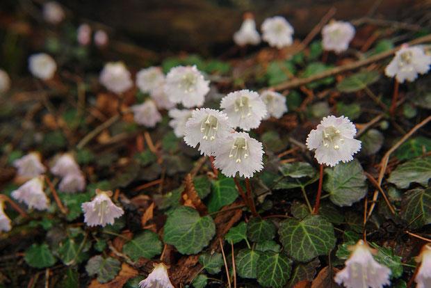 イワウチワ (岩団扇) イワウメ科 イワウメ属 Shortia uniflora