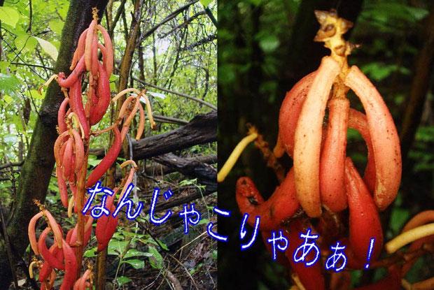 ツチアケビ (土木通) ラン科 ツチアケビ属 果実です  これがツチアケビとの初対面でした