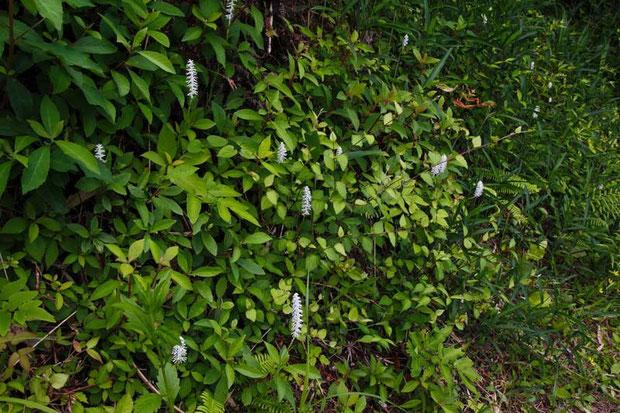 林縁に咲くシライトソウ