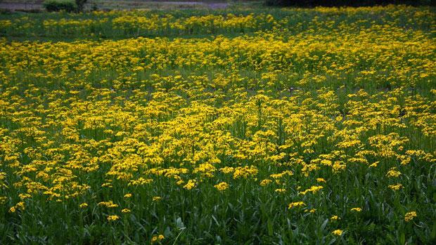 サワオグルマ  3年前はわずかに茎を伸し始めた状態だった。 今年はものすごく花が早いのか?