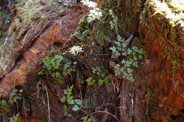 コセリバオウレン (小芹葉黄蓮) キンポウゲ科 オウレン属  花をつけた株は少なかった