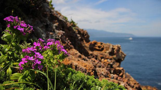 ハマナデシコ (浜撫子) ナデシコ科 ナデシコ属  海岸でひときわ鮮やかな色彩の花
