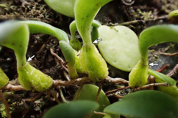 #7 ムギランの偽球茎と葉の境界部