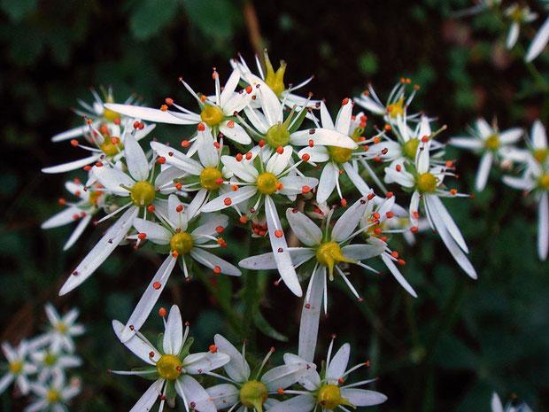 #10 ナメラダイモンジソウの花