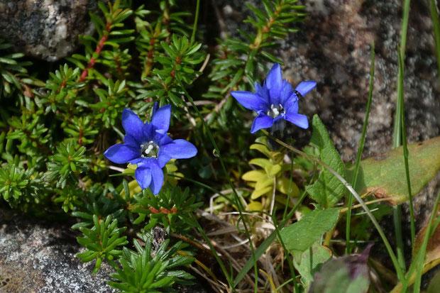 ミヤマリンドウ (深山竜胆) リンドウ科 リンドウ属  高山の青空のように色が濃い個体が多かった