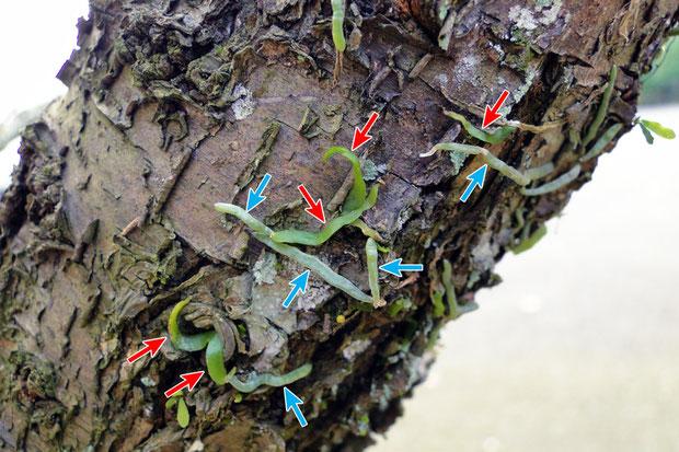 #14 クモランの葉? 水色➡:通常の根  赤色➡:根と形状が異なる  2010.04.24 岐阜県