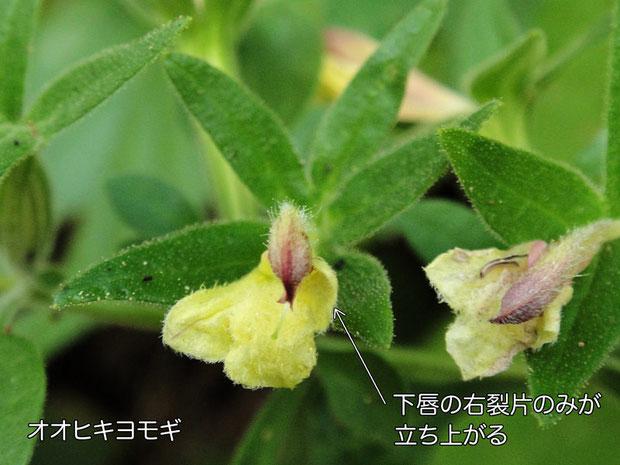 オオヒキヨモギ 花の正面