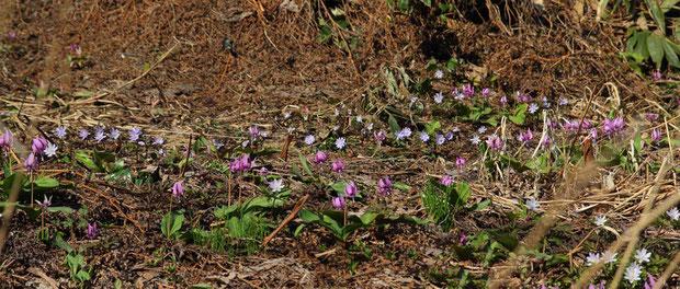 カタクリやキクザキイチゲの群落が、普通の道端にいくらでも見られる