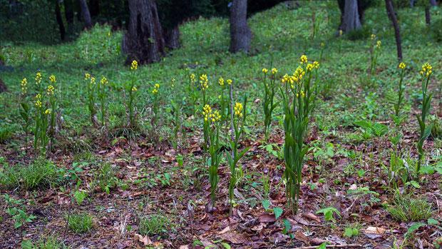 キンラン (金蘭) ラン科 キンラン属  ここはそれなりに数があるが、周辺を見渡すとやや少ない印象