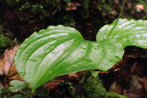 ギボウシランの葉はギボウシの葉に似るといっても、サイズはるかに小さい。 葉脈の間が凹み、縦じわが目立つ。