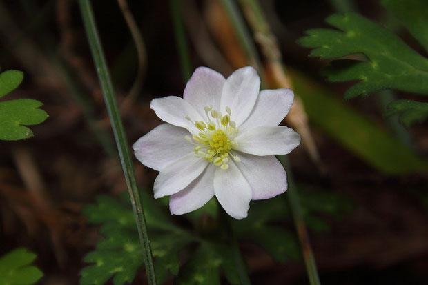 萼片が10個もあるニリンソウを見つけた! 普通は5個。4、6〜8個の花は見たことがあるが10個は初!