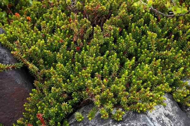 ガンコウラン (岩高蘭) ツツジ科 ガンコウラン属  至る所にビッシリと生えていました
