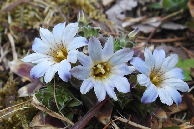 コケリンドウの花は雌雄異熟で、雄性先熟です。 上の左右の花は若い花で雄性期、中央の花は柱頭が成熟した雌性期です