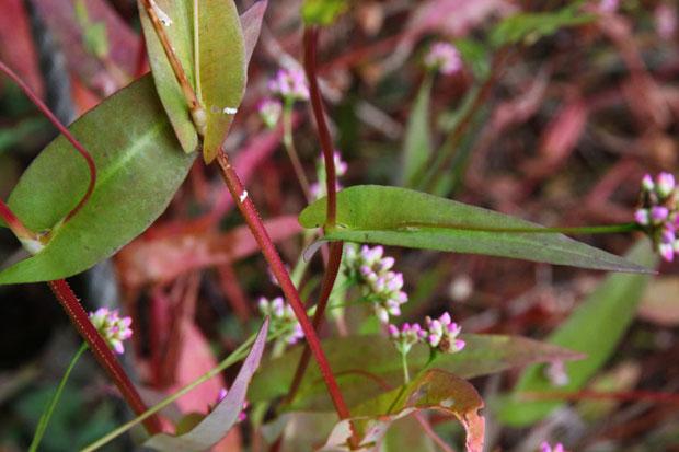 アキノウナギツカミの葉は細長い披針形で基部は茎を抱きます。 茎には下向きの棘がたくさん。