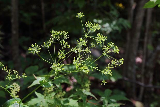 ホタルサイコ (蛍柴胡) セリ科 ミシマサイコ属  花は終わり、果実になっていた