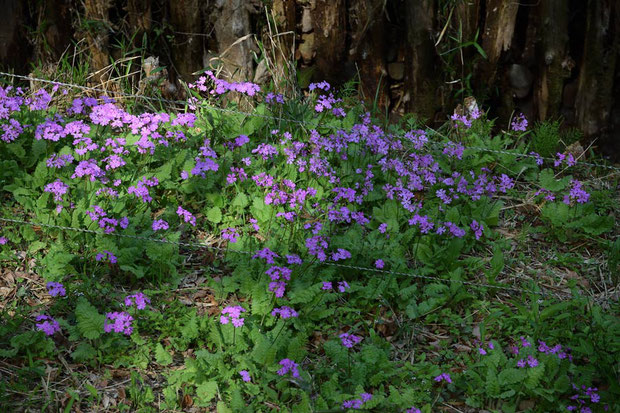 たくさん咲いているが... この低さの電気柵でシカの食害が防げるのだろうか?と思ってしまった