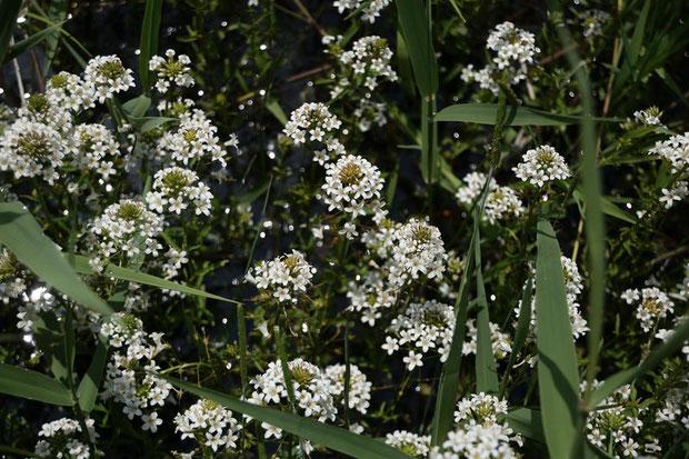 トウサワトラノオはまだツボミも多く、これからもっと多く咲きそうな雰囲気です