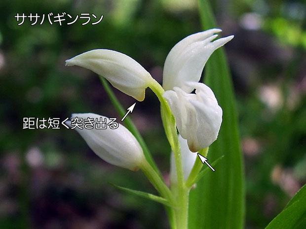 #7 ササバギンランの距も目立つ  2005.06.12 長野県 八ヶ岳山麓