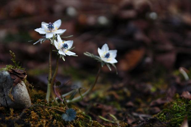 セツブンソウ (節分草) キンポウゲ科 セツブンソウ属  花は3〜4分咲きに思われた